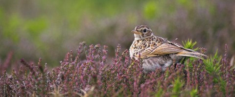 skylark at rainham marshes - RSPB